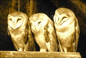 three owls