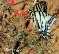 Idaho butterfly