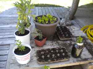 kitchen herb nursery