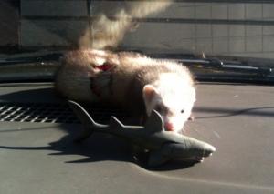 ferret and shark