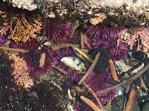 tide pool with sea urchins